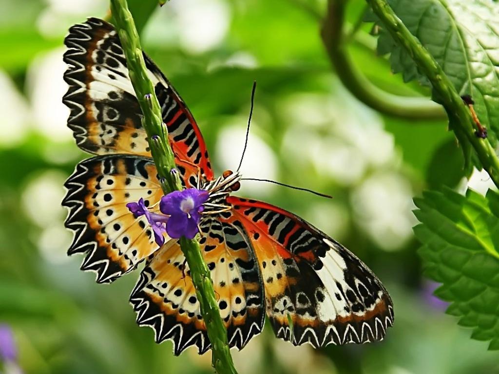 butterfly-wallpaper-10